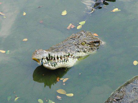 Crocodile Snout, Water, Crocodile, Mouth, Reptile