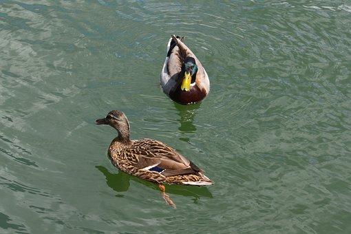 Duck, Water, Nature, Bird, Animal, Wildlife, Wild, Lake