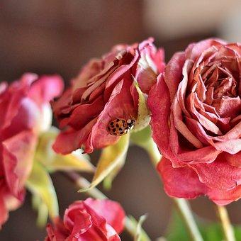 Rose, Ladybug, Plant, Nature, Flower, Floral, Bug