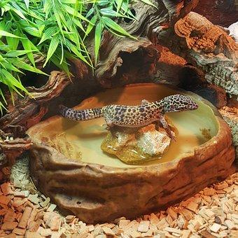Leopard Gecko, Water, Mack, Snow, Gecko, Green, Face