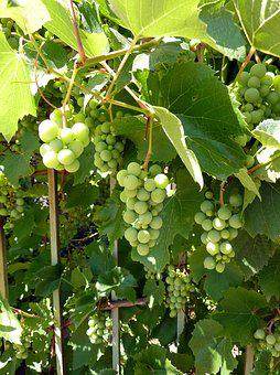 Grapes, Vines, Grapevine, Winegrowing, Vineyard