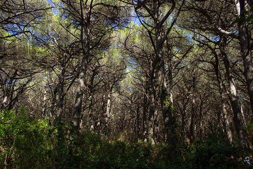 Italy, Tuscany, Pine Forest, Landscape, La Pineta