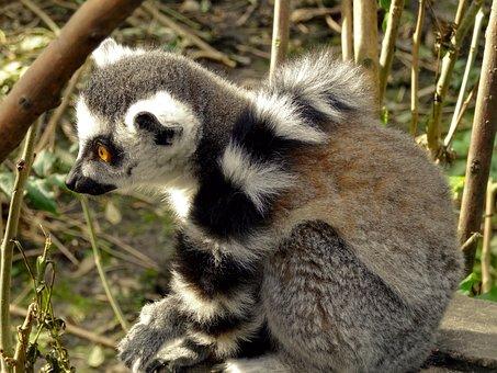 Maki, Lemure, Monkey, Primates, Mammal, Nature, Watch