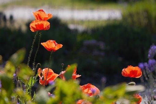 Flower, Orange, Summer, Flowers, Natural, Spring, Red