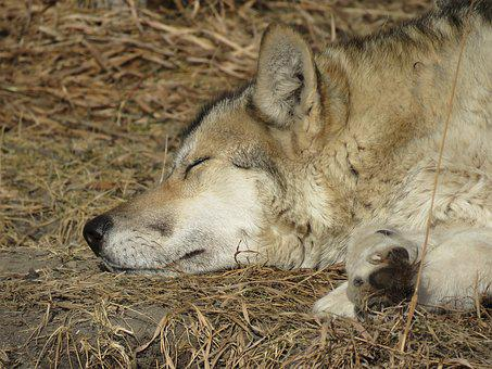Wolfdog, Wolf, Dog, Sanctuary, Rehabilitation, Fur