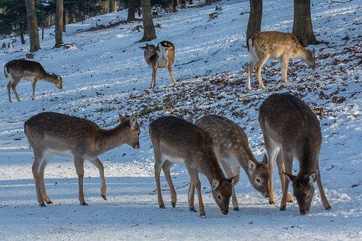 Dybowskiwild, Wild, Roe Deer, Forest Animal