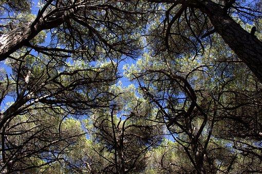 Pine Forest, Tuscany, Sea, Italy, Pinus Pinea, Pine