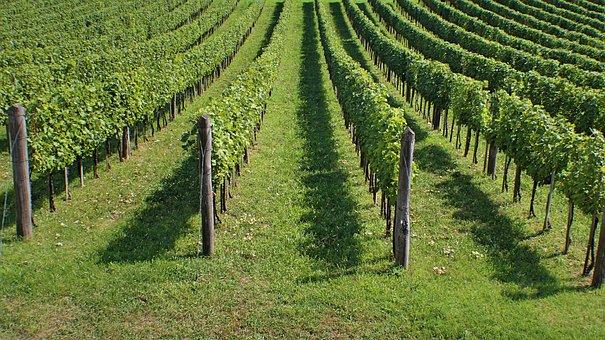 Vineyards, Winery, Wine, Agriculture, Rural, Vine