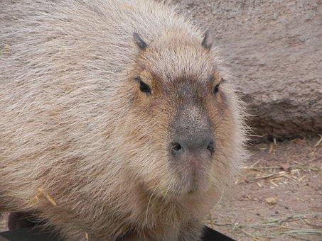Capybara, Rodent, Albuquerque Zoo