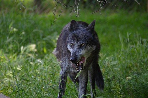 Wolf, Famished, Grey, Animal
