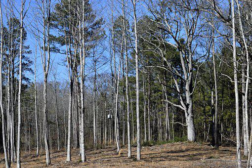 Forest, Baron Trees, Outdoors, Winter, Landscape, Baron