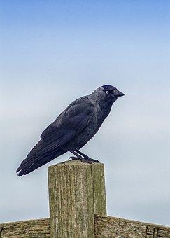 Jackdaw, Bird, Nature, Wild, Crow, Black, Animal