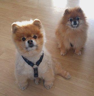 Dwarf Spitz, Pomeranian, Dog, Pointed, Pet, Pom Pom