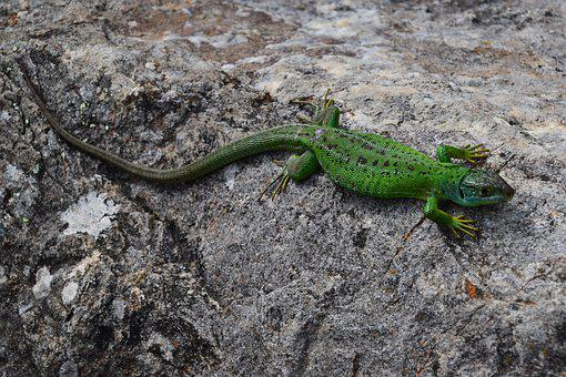 Lizard, Golden, Sun, Reptiles