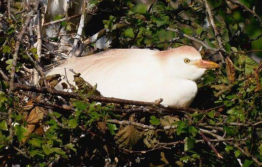 Cattle Egret, Ave, Animal, Bird, Great Egret