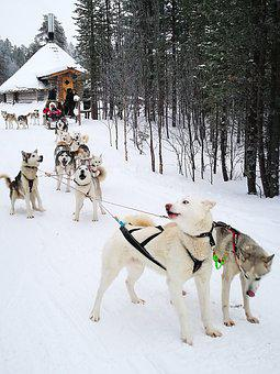 Dogs, Husky, Sled Dog, Murmansk, Russia