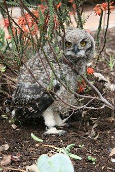Juvenile Owl, Kirstenbosch, Botanical Gardens