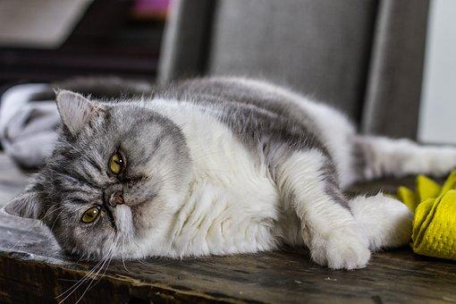 Cat, Kitty, Kitten, Desk, Lazy, Fat, Ugly, Smelly