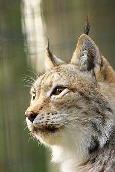 Lynx, Zoo Rostock, Face
