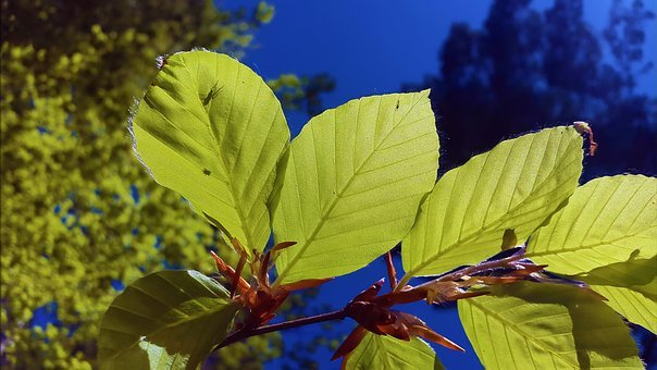Beech Leaves, Beech, Leaves, Deciduous Tree, Nature