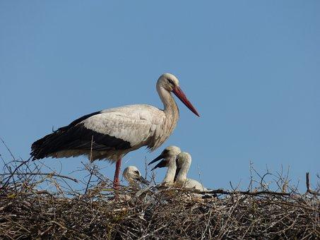 Stork, Animal, Bird, Nest, Wild, Nature, Mother