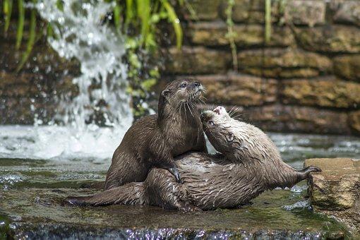 Otters, Otter, Wildlife, Nature, Animal, Mammal, River