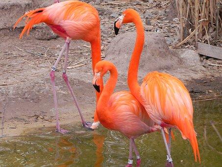Pink Flamingo, Albuquerque Zoo, Bird