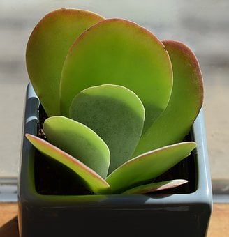 Succulent In Blue Pot, Container Plant, Plant, Nature