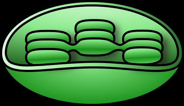 Chloroplast, Chlorophyll, Unlabelled, Cellular, Plant