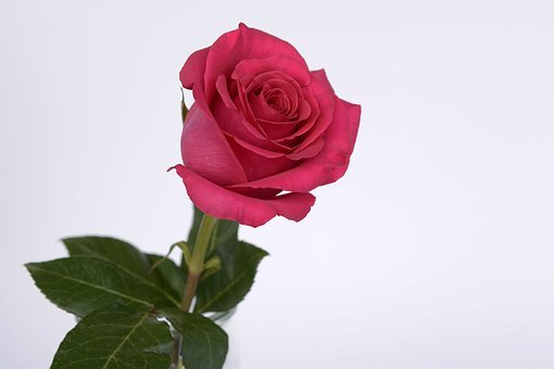 Rose, Pink, Rose Flower, Romance, Love, Blossom, Bloom