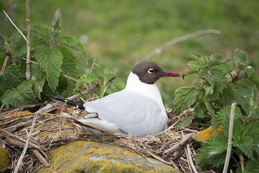 Black-headed Gull, Nesting, Bird, Farne, Seagull, Gull