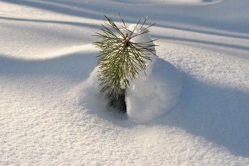 Snow, Sun, Young Spruce, Snowdrift