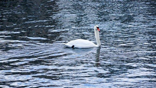Swan, Lake, Sea, Swimming, Animal, Fauna, Water, Symbol