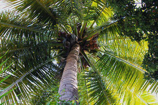 Coconut, Palm, Tropical, Tree, Leaf, Beach, Nature