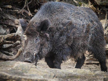 Wild Boar, Zoo, Nature, Animal, Fauna, Wild Animal, Pet