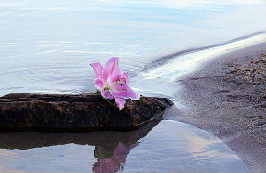 Lily, Flower, Blossom, Bloom, Water, Sand, Beach, Stone