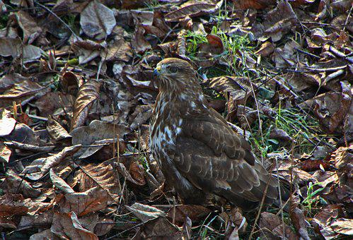 Bird Of Prey, Leaves, Bird, Raptor, Camouflage, Ground