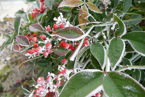 Flowers, Ice, Brina, Cold, Plants, Frost, Berry