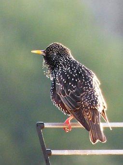 Estirnino, Black Bird, Bird, Lookout, Wind, Feathers