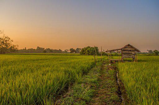Field, Farmer, Green, Padi, Plant, Nature, Indonesian