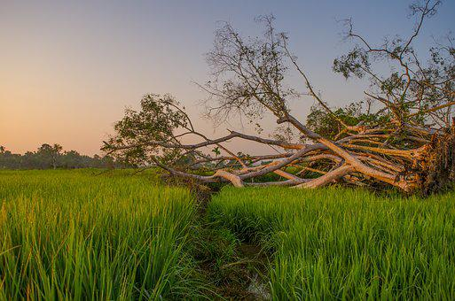 Field, Sunrise, Farmer, Rural, Indonesian, Leaf, Green
