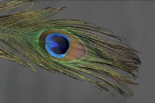 Peacock Feather, Peacock, Feather, Colorful, Bird