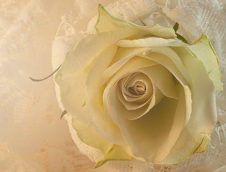 Rose, White, Lace, White Rose, Flower, Love, Nature