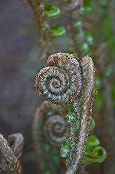 Fern, Frond, Spiral, Curl, Foliage, Plant, Leaf, Branch