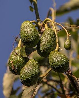 Hass Avocado, Avocados, Fruit, Green, Immature, Tree