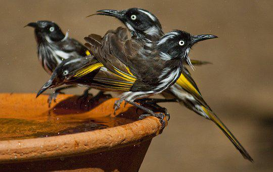 New Holland Honeyeater, Aussie Birds, Honeyeater