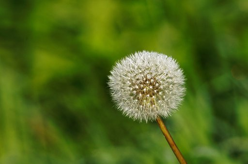 Loewnzahn, Flora, Nature