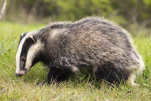 Badger, Brock, Animal, Mammal, Wildlife, White, Black