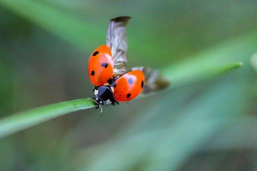 Ladybug, Beetle, Nature, Macro, Insect, Animal, Grass