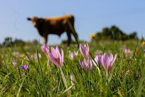 Saffron, Legally Protected, Meadow, Cow, Animal, Nature